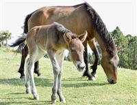 母に寄り添う姿に心和ませ 都井岬で御崎馬の赤ちゃん誕生