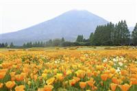 ポピー25万本鮮やかに 霧島連山の裾野、宮崎・生駒高原
