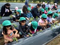 鹿児島・浜田酒造で地元園児がサツマイモ苗植え体験