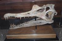 【びっくりサイエンス】最大の肉食恐竜「スピノサウルス」 極上化石が日本上陸、生態の謎解…
