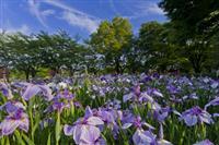 【日本再発見 たびを楽しむ】一面に広がる「紫のじゅうたん」~館林花菖蒲園(群馬県館林市…