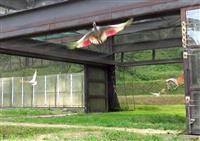 佐渡でトキ19羽を放鳥 環境省、20年以降18回目