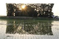 【動画】島根・出雲平野の築地松、朝日受け「美シルエット」描く