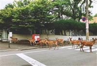 【関西の議論】奈良のシカ50頭が突然、市街地を爆走…衝撃映像から原因を探ると