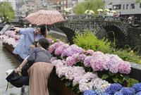 梅雨の長崎、アジサイ鮮やか