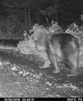 ヒグマやっぱりいた 北海道利尻島 無人カメラに林道歩く姿