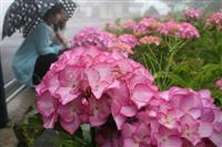 生駒山上遊園地に新たな絶景…欧州の気品アジサイ「マリーアントワネット」咲き始める うめ…