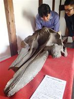 国内初のシャチの頭骨化石と判明した大蛇骨を調べる伊藤謙・大阪大特任講師(右)ら=大阪府八尾市の顕証寺