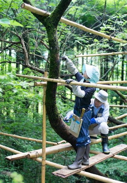 不安定な足場の上で行われる漆の採取作業=昨年9月、奈良県曽爾村(漆ぬるべ会提供)