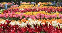 【動画】ユリの大輪、夏色映える 兵庫・篠山玉水ゆり園で見頃