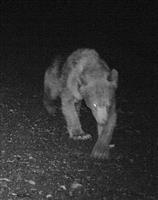 利尻島でまたヒグマ撮影 同じ林道の無人カメラに