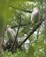 トキ60羽巣立ち繁殖期終了 昨年の77羽に次ぐ、新潟