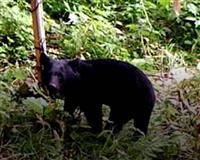 クマ食害対策は「隠れにくい緩衝地帯の整備を」 連日の出没に専門家 山形