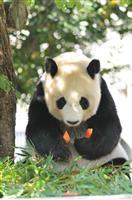 【関西の議論】神戸「復興のシンボル」パンダの行方 中国との「ディール」は成功するか