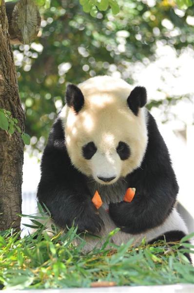 神戸市立王子動物園のパンダ「タンタン」(同園提供)