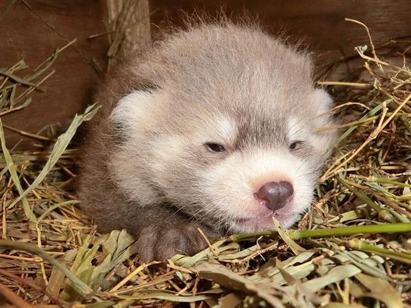 レッサーパンダの赤ちゃん誕生 埼玉県こども動物自然公園