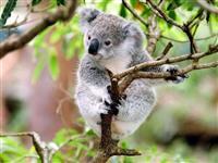 コアラの全ゲノム配列を解読完了 絶滅危機から救う遺伝学的プロジェクト