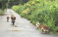 【ZOOM東北】福島発 「イノブタ大繁殖」は誇張 被災地で初の遺伝子分析