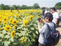 台風13号がイベント直撃 蓮田の「ひまわり畑」など中止次々 埼玉