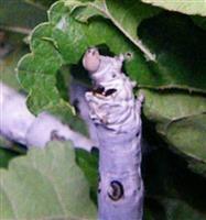 【びっくりサイエンス】カイコの高度な生き残り術 「天敵呼ぶ香り」封じて餌食べ放題
