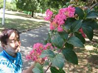 【インターン新聞から】花言葉は意外にも…「○○」たっぷりサルスベリ 残暑の堺で見頃
