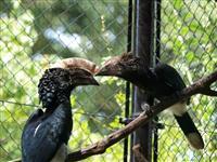 ギンガオサイチョウ巣立ち 埼玉県こども動物自然公園で繁殖成功