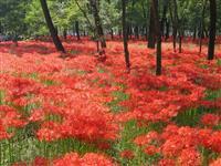 【日本再発見 たびを楽しむ】雑木林の足元 赤く染まる珍しい光景~巾着田曼珠沙華公園(埼…