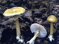 毒キノコ「タマゴタケモドキ」で食中毒 山梨で60代女性、肝障害も