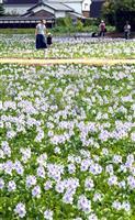 【動画】風に揺れる薄紫の絨毯、ホテイアオイが見頃 奈良・橿原市の本薬師寺跡