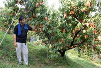 【西日本豪雨】「岡山の桃、10年はダメ」風評に負けてたまるか、総社の桃農家「ガンガン出…