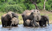 ボツワナでゾウ90頭殺害 象牙目的の密猟で過去最悪の被害か