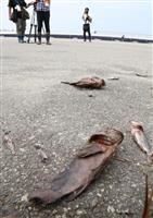 【動画あり】台風21号で関空A滑走路に魚の死骸や漂着物 再開のめど立たず