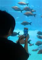 【インターン新聞より】ギョギョッ!目から鱗 AIで魚の情報丸わかり 海遊館でスマホ体験…
