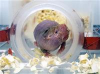 【びっくりサイエンス】女王が出すホルモンで母性アップ 働きネズミが子守役に大変身 ハダ…