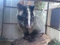 【飼育員日誌 須坂市動物園】ハクビシンの「シン」 気を配り飼育、やっとひとり立ち