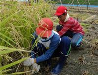同級生と稲刈り「楽しい」 洲本で児童ら体験授業
