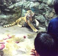 トラの「ナナ」20歳お祝い 日本平動物園