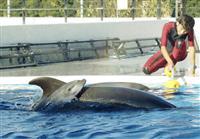 イルカが人工授精で出産 長崎・九十九島水族館、国内4例目