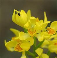 【びっくりサイエンス】ランを滅ぼす小さな脅威 種子を食い尽くすハエの被害が全国で深刻化