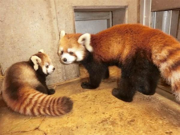 レッサーパンダの赤ちゃん13日から公開、こども動物自然公園
