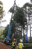 盛岡・内丸緑地のヒマラヤスギ伐採開始 倒木の危険