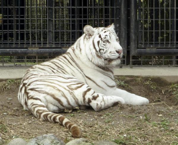 生かされなかった教訓 猛獣飼育対策、動物園任せ 鹿児島トラ襲…