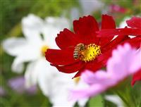 【動画あり】奈良県橿原市の藤原宮跡花園でコスモス見ごろ