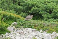 駒ヶ岳で半世紀ぶりにライチョウ発見