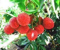 1粒1000円…ライチ新たな特産品に 温暖化生かし、農家収入増期待 宮崎