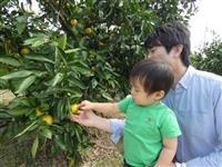 もぎたての秋、味わって 洲本でミカン・レモン狩り始まる