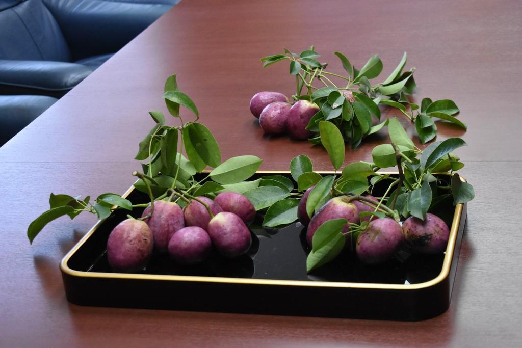 不老長寿の果実「ムベ」 滋賀の神社、皇室献上の準備