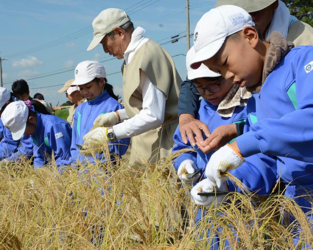 石包丁で赤米収穫 播磨の小学生が弥生体験、「切りにくかった」