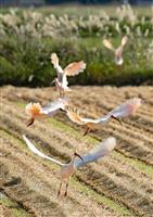 【view 写】トキ放鳥10周年 野生復帰へ新たな一歩