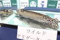 "特定外来生物""ガー科""魚類を飼育、静岡で店長逮捕"